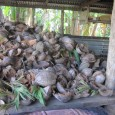 From the blog Karen and Dave In Samoa Posted March 13, 2011 This is the traditional way to cook Samoan food.  I have been told that this version is not […]
