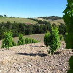 Dry-Farmed Vines, Tablas Creek Vineyard, Paso Robles CA