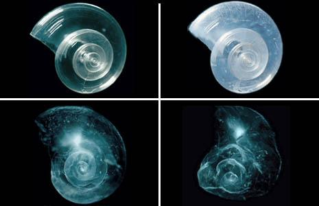 http://ocean.si.edu/ocean-photos/shell-dissolves-seawater