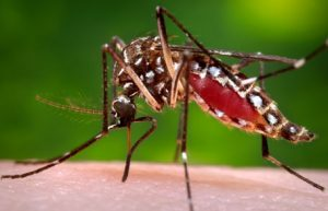 Aedes aegypti a vector for transmitting several tropical diseases. Resource: Center for Disease Control and Prevention