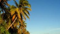 In the South Pacific, it's no surprise that coconuts are a big deal. Their usage is endless!–from a building material, to a source of healthy fat, to handmade virgin coconut […]