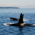 In the summer of 2018, a Southern Resident Killer Whale (SRKW) known as J-35 lost her newborn calf shortly after birth. She captured headlines around the world when she proceeded […]